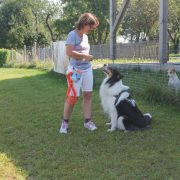 Hund Bella Training American Collie